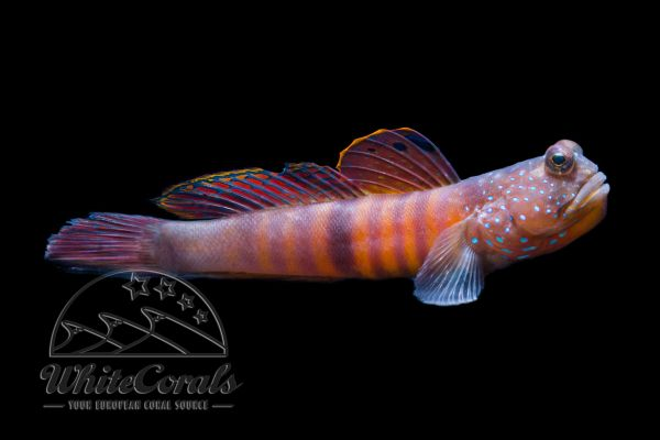 Cryptocentrus pavoninoides - Bluespotted Watchman Goby