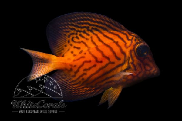 Ctenochaetus hawaiiensis - Chevron Tang