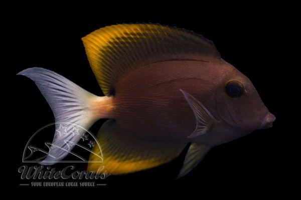 Ctenochaetus tominiensis - Tomini surgeonfish