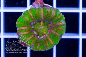 Mini Scolymia Green