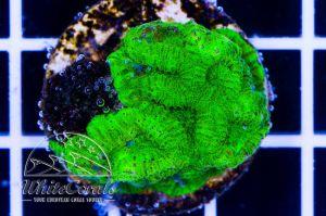 Favites Green