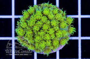 Goniopora Green Neon