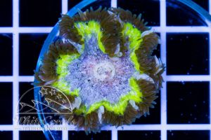 Rock Anemone Yellow and Green