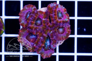 Ultra Acanthastrea Pink Rainbow