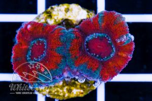 Acanthastrea Pagoda Red