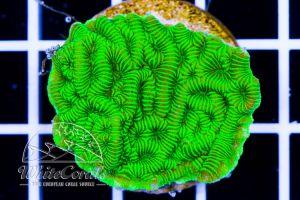 Leptoseris Green Neon