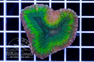 Lobophyllia Rainbow