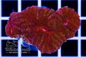 Lobophyllia Red