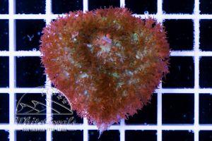 Rhodactis osculifera Bubble Mushroom Red