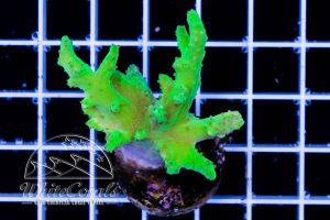 Ultra Sinularia Super Green (DNZ)