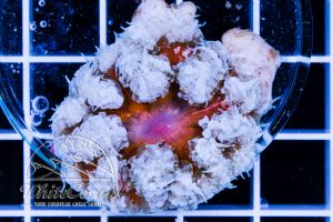 Rock Anemone Red and White