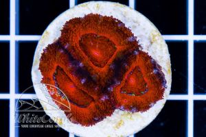 Acanthastrea Full Red