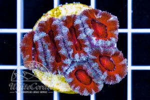 Acanthastrea Tiger Red