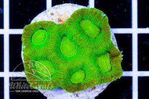 Goniastrea Green Neon