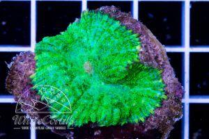 Rhodactis Green Neon