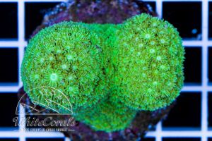 Goniopora Green (Aquacultured)