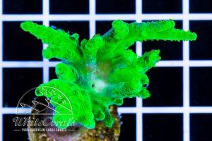 Sinularia flexiblis Super Green (DNZ)
