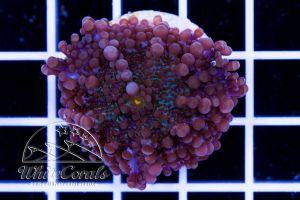 Ricordea yuma Purple