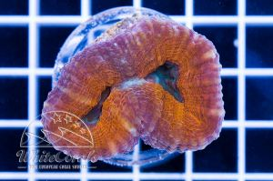 Lobophyllia Orange