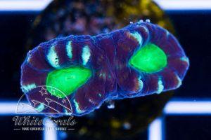 Caulastrea Bicolor