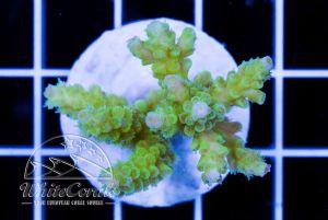 Acropora tenuis