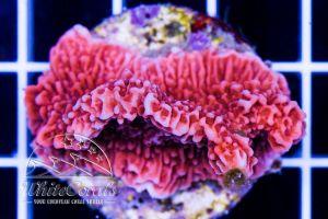 Montipora delicatula Red