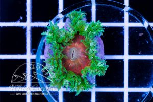 Ultra Rock Anemone Red and Green