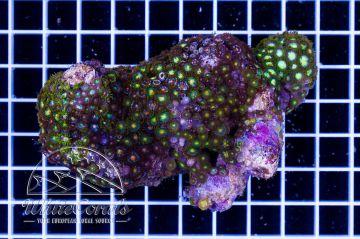 Zoanthus Mixrock