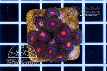 Zoanthus Miami vice (Filter)