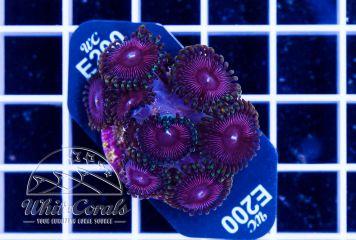 Zoanthus Cotton Candy