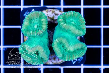 Caulastrea Green