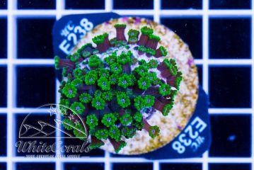 Alveopora Green
