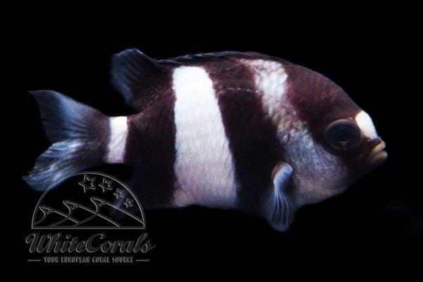 Dascyllus aruanus - Whitetail Dascyllus