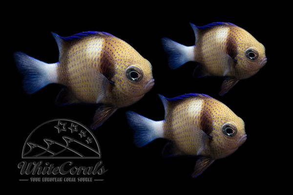 Dascyllus carneus/reticularis - Cloudy Damselfish 3-pack