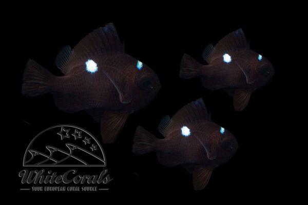 Dascyllus trimaculatus - Domino Damselfish 3-pack