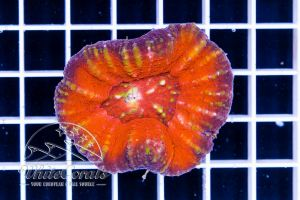 Scolymia Red