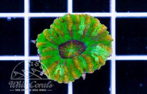 Mini Scolymia Tiger Green