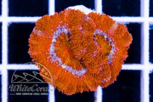 Ultra Acanthastrea Rainbow Red
