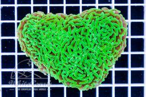 Euphyllia paraancora Toxic Green