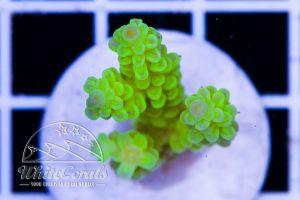 Acropora tenuis Lime