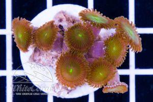 Zoanthus Green Spark