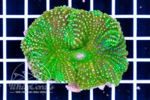 Rhodactis mussoides Green XL
