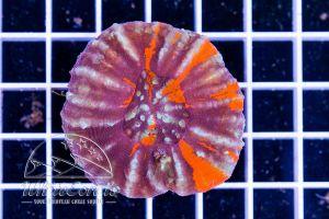 Scolymia Multicolor