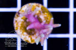 Seriatopora hystrix Fiji Yellow Tip
