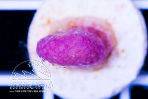 Stylophora sp. Pink