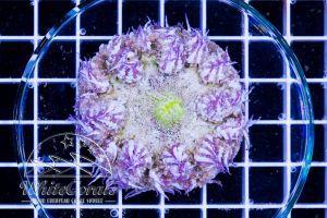 Rock Anemone White Yellow Mouth
