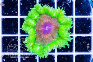 Rock Anemone Green and Purple