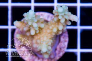 Acropora sp. Aussie