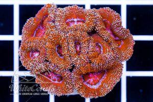Acanthastrea Stardust Red