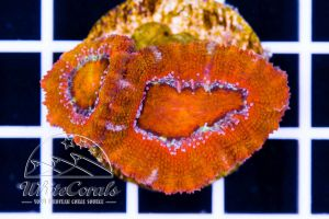 Acanthastrea Rainbow Red